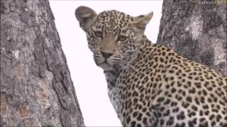 Download Safari Live : James bumps into Xongile while on Bush Walk Dec 05, 2016 Video