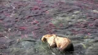 Download Alaska Wildlife Video