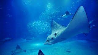 Download 【海遊館】 大水槽の動画映像12時間 (central tank of osaka aquarium ″KAIYUKAN″ 12hours) Video