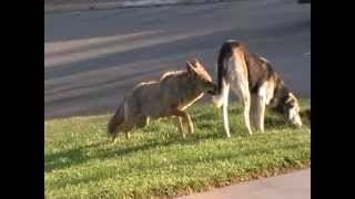 Download Coyote vs Dog Video