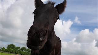 Download Why does Jonah want to attack me, dear Klaske doesn't even know what that is. Friesian Horses. Video