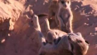 Download meerkat manor puff adder Video