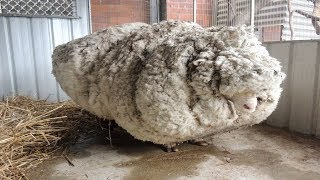 Download Hikers Saw That This Neglected Sheep Could Barely Stand, So A Shelter Begged For Experts To Save Him Video
