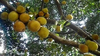 Download Super anti-diabetes plant & most effective means to cure diabetes naturally Video