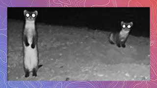 Download Endangered Black-Footed​ Ferrets Emerge At Night Video