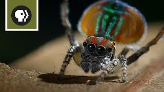 Download Peacock Spider Mating Dance Video
