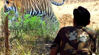 Download ″TIGER″!!!!!!!!! : Surprise Encounter with the ″So-called″ Man-eating Tiger..... in the Wild Video