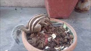 Download Mommy Squirrel finds out her baby is safe Watch what happens next! Video