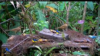 Download Colorful Afternoon And Interesting Euphonia Interaction On The Panama Fruit Feeder – Jan 16, 2020 Video