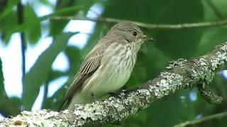 Download chants d'oiseaux Video