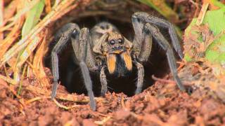Download Wolf Spiders Video