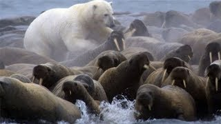Download Polar Bear vs Walrus colony | BBC Planet Earth | BBC Studios Video