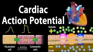 Download Cardiac Action Potential, Animation. Video