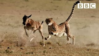 Download Cheetah reaches top speed of 55mph to catch its prey - The Hunt: Episode 5 preview - BBC One Video