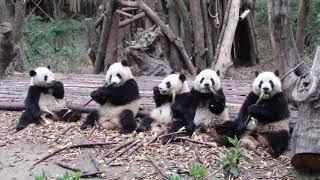 Download The 2017 Class @Chengdu Panda Base Apr. 10, 2019 幼年園1班並んでランチ Video