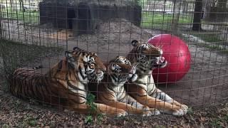 Download Lost Footage: Texas Tiger Birthday Video