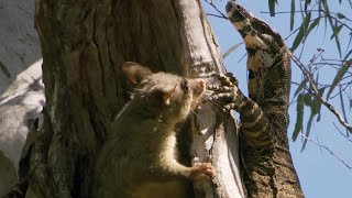 Download Possum fights Monitor Lizard to protect babies | BBC Earth Video