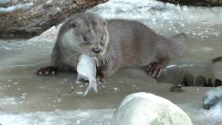 Download Lennon the otter eating fish and swimming under the ice Video