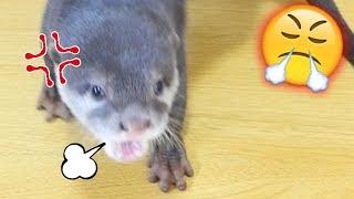 Download 【衝撃!キレるカワウソ】ジャーキーあげたらテンションが上がりすぎてブチギレするビンゴ(Otter Bingo get over excited with chicken jerky) Video