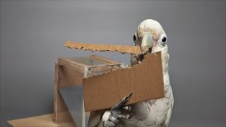 Download Cockatoos Make Tools from Different Materials Video