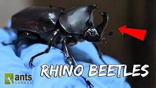 Download I Raised Massive Rhino Beetles Video