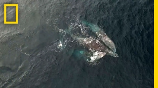 Download Rare Video: Whales Engage in Three-Way Mating Ritual | National Geographic Video