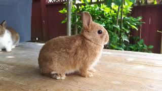 Download Broken Chestnut & Cinnamon Netherland Dwarf Rabbits Video