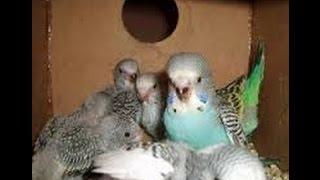 Download Muhabbet Kuşlarında Yavruları Ayırma Ve Yeme Alıştırma Nasıl Olmalı ? Video