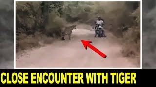 Download Bikers Encounter with 2 Tigers NARROWEST ESCAPE Video