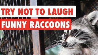 Download Try Not To Laugh | Funny Raccoon Video Compilation 2017 Video