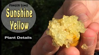 Download Sunshine Yellow Grafted Finger Lime Fruit Tree in Australia Video