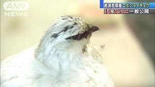 Download 絶滅危惧種「ニホンライチョウ」 15年ぶり一般公開(19/03/15) Video