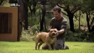 Download 01 Life with the lion whisperer Kevin Richardson with one of his lions in South Africa Video