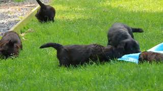 Download Mini Labradoodle Puppies For Sale Melvin Stoltzfus Video