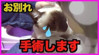 Download 【お別れ】子猫のキャンディーが手術のため病院へ行きます… Video