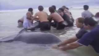 Download DRAMATIC RESCUE OF WHALE CALF WHICH IS UNITED WITH ITS MOTHER Video