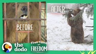 Download Bear Who Spent His Life In A Cage Is Thrilled To Play In Snow | The Dodo First Taste Of Freedom Video