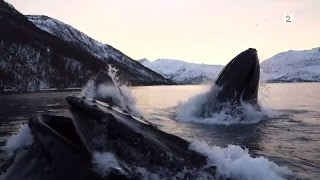 Download Norwegian fishermen have close encounter with hunting humpback whales Video