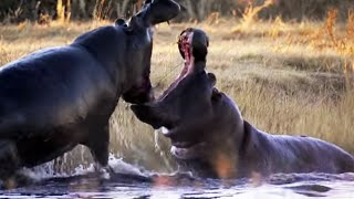 Download Angry Hippos Fight for Mate   Nature's Great Events   BBC Earth Video