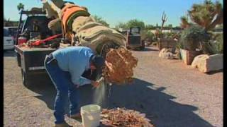 Download How To Transplant A Saguaro Cactus Video