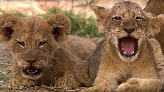 Download Cute Lion Cubs Only 6 Weeks Old! | This Wild Life | BBC Earth Video