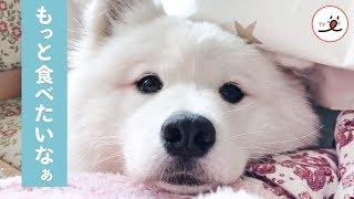 Download かわいい顔でおねだり❤️ もっとおやつが食べたいサモエド【PECO TV】 Video