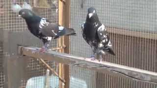 Download pakistani High Fly pigeons Special new 2015 pat 07 Video