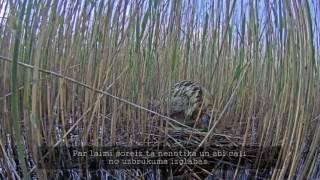 Download Īsfilma par lielajiem dumpjiem Engures ezerā, 2015 Video