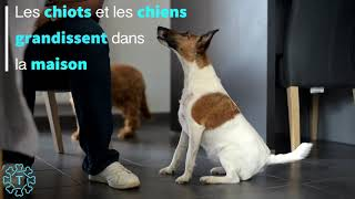 Download TIPAW | Les Belles Di Maggio | Elevage de Fox-terrier à poil lisse Video