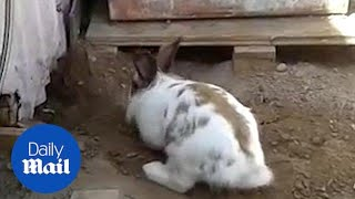 Download Heroic rabbit digs a tiny stuck kitten out of trouble! Video