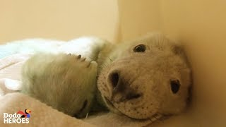 Download Watch This Tiny Baby Rescue Seal Grow Up and Swim Back to the Wild! | The Dodo Heroes Season 2 Video