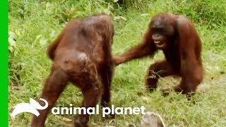 Download Orangutans Fight For Dominance While Leader Hamlet Is Trapped | Orangutan Island Video