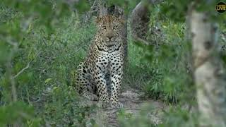 Download Wild Africa Hosana and Hukumuri in 1 sighting close one 30 march 2018 Video
