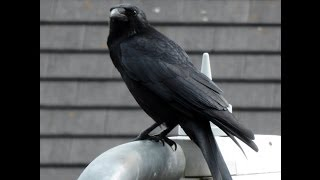 Download Crow cawing on lamp post Video